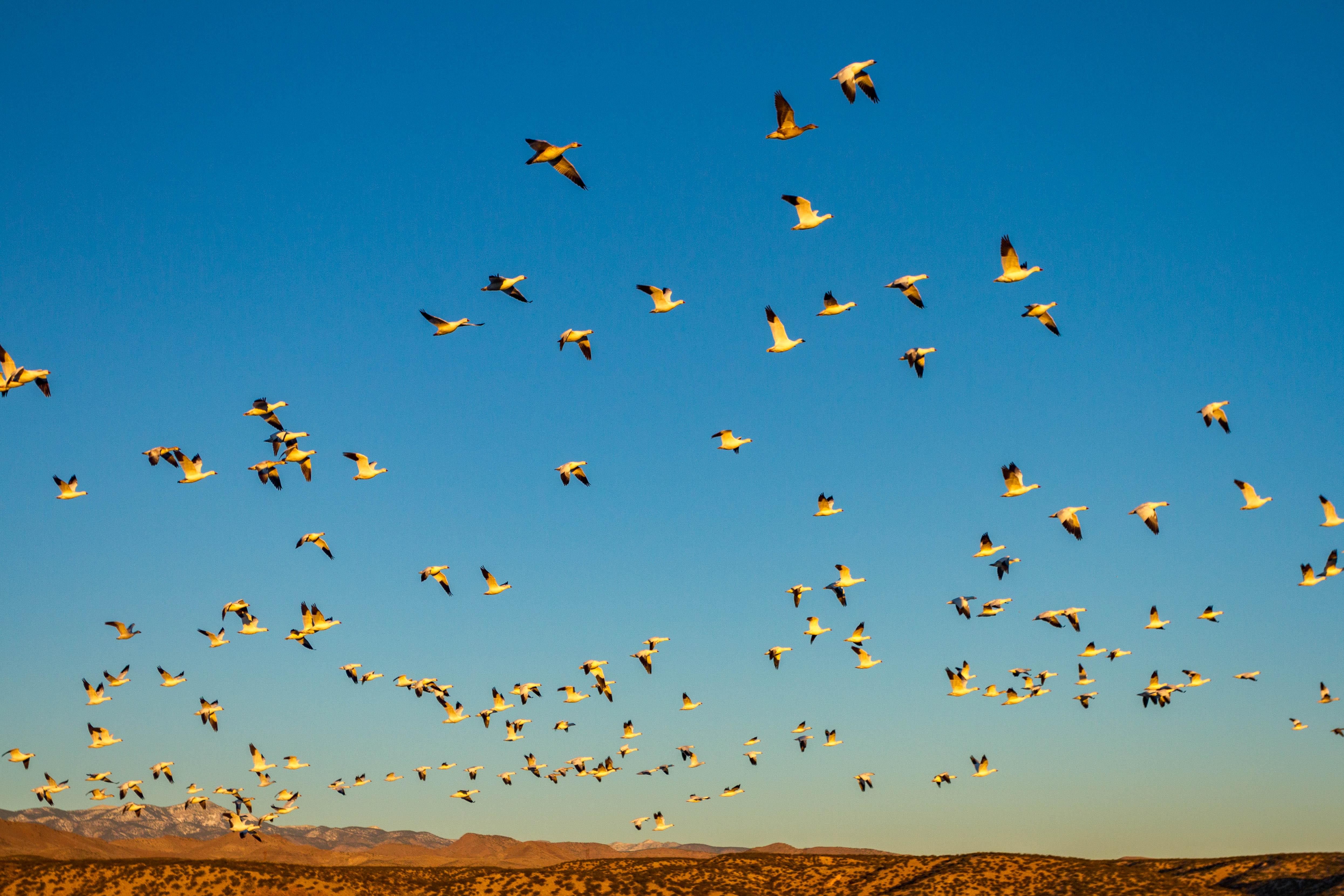 Snow Geese Ascending
